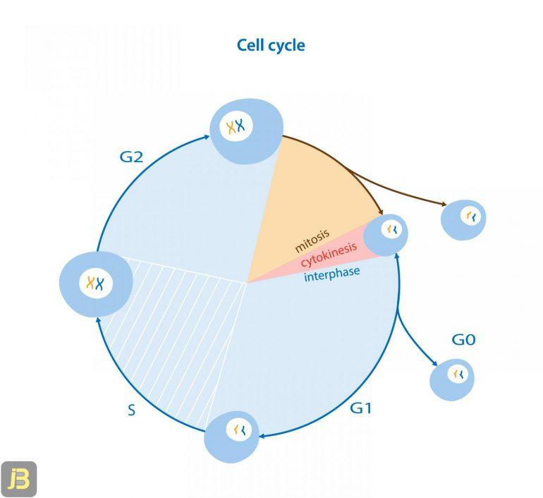 مراحل تقسیم سلولی میتوز